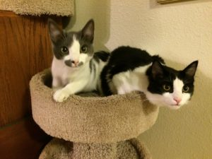 Two kittens looking towards the camera from the top of a round cat condo.