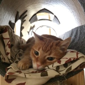 a perfect orange tabby faces the camera, laying down inside a cat tube.