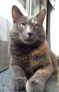 a gray tortie facing towards the camera and stretched out along a window.