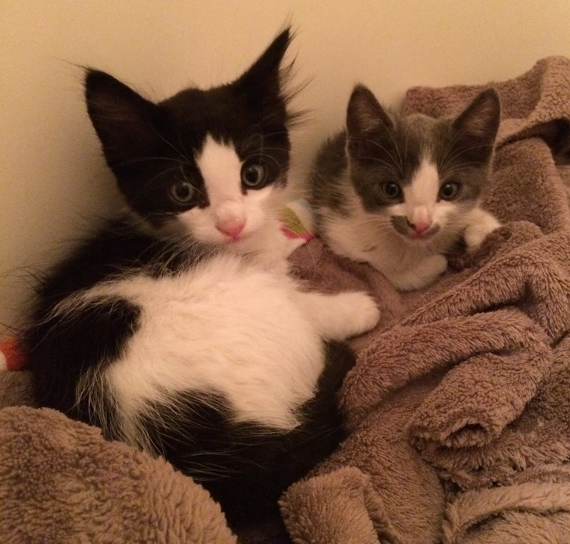 Two tiny kittens on a blanket, looking at the camera.