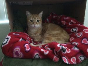 an orange cat laying on a red blanket inside a cardboard box.