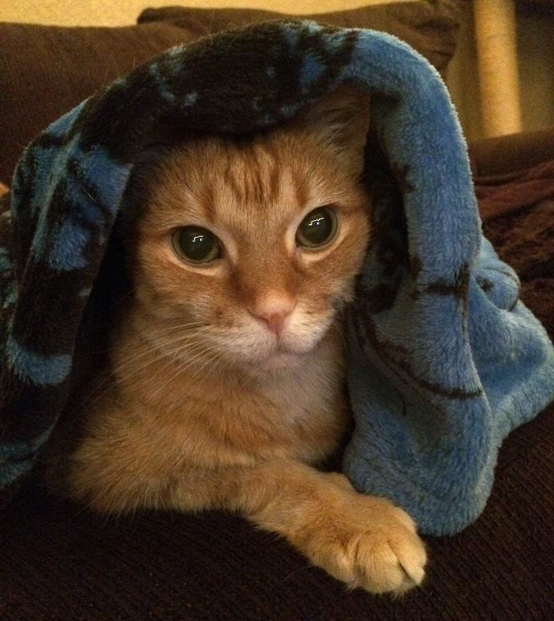 an orange tabby under a blue blanket, with the blanket draped over her head.