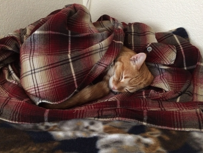 An orange cat sleeping in a flannel shirt.
