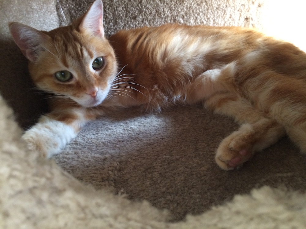 An orange tabby laying inside a carpeted cat condo, looking at the camera.