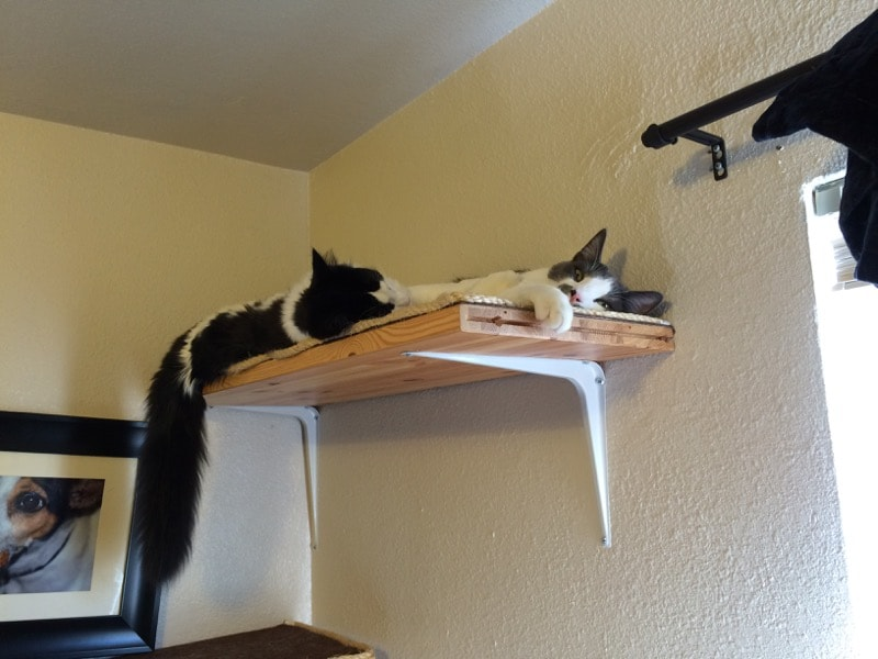 two kittens sleeping on a cat shelf. one kitten's extremely fluffy tail is hanging down.