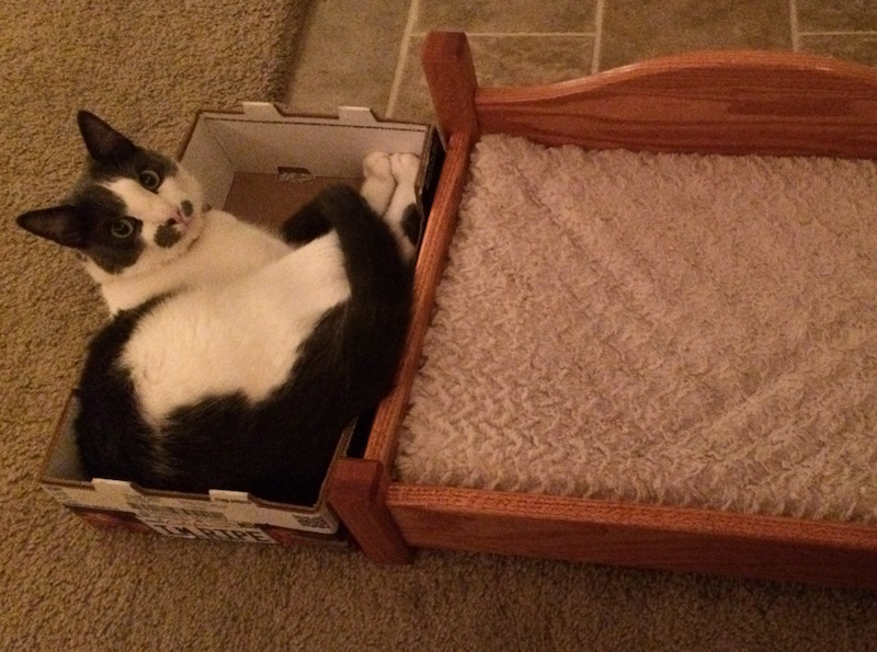 A gray and white cat crammed into a tiny box next to an empty and beautiful oak cat bed.