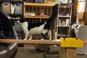 A fluffy black and white cat standing on a 2x4 piece of wood.