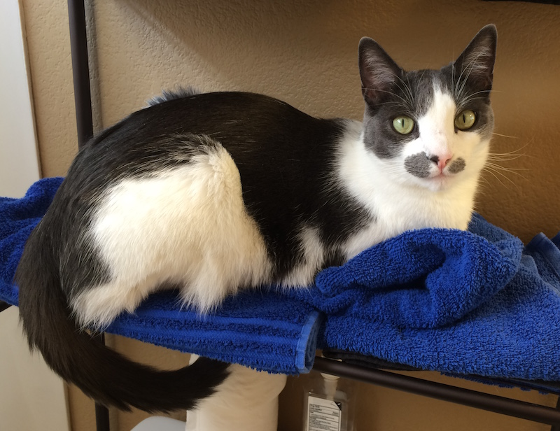 A cat loafing on two folded towels, looking at the camera.